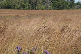 Pure Bluestem with wild asters sprinkled in