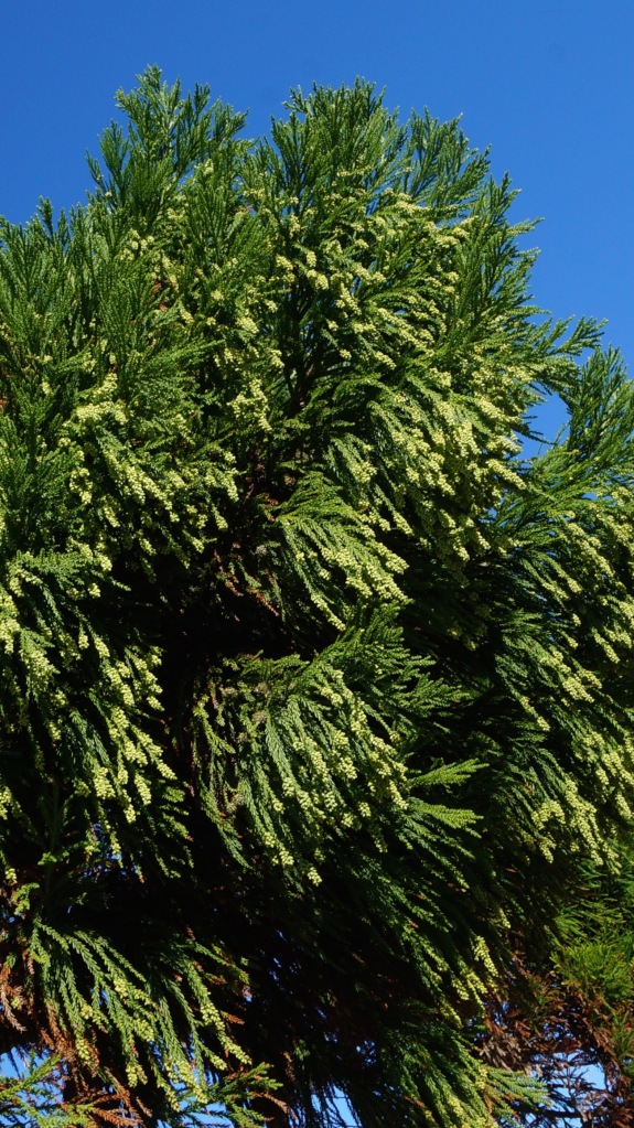 Gorgeous conifer seems to tolerate salt spray well