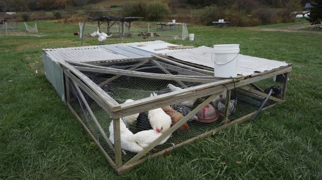One of Joel's mobile chicken pens, which are hauled around the field following the cows' grazing patterns -- keeps the worms down and is really good for the land and chickens