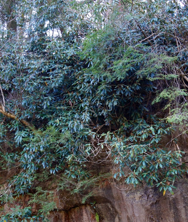 Huge rhododendron and conifers on the canyon walls