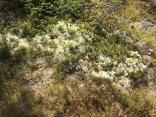 Reindeer grass