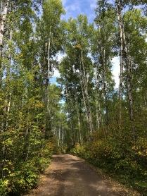 60-foot aspens in Kakabeka Falls Park
